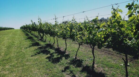 Vitivinicultura - Viñedo