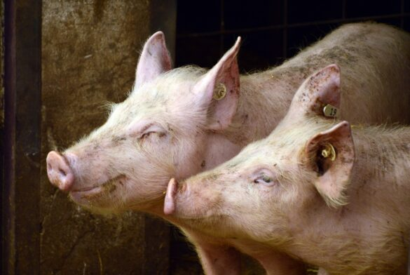 Imagen de dos cerdos juntos en un corral