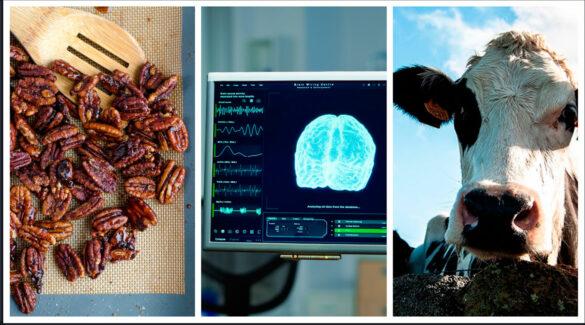 Collage que muestra nueces pecán, vacas, y un monitor de computadora con la imagen de un cerebro.