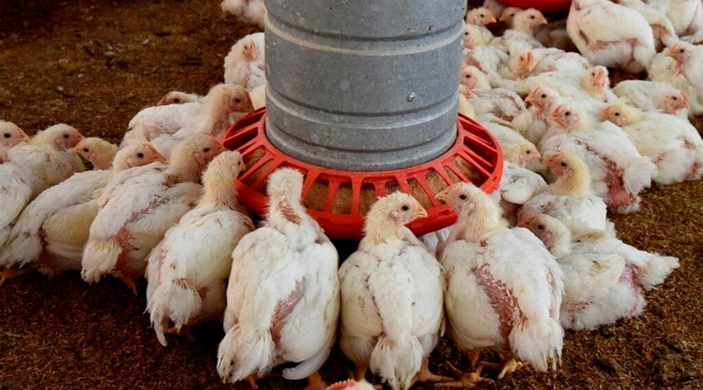 pollos parrilleros apiñados bebiendo agua de un bebedero
